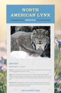 North American Lynx