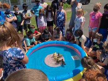 Ducks' First Swim