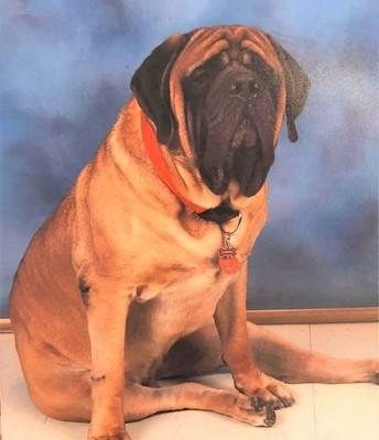 Gabriel, Therapy Dog