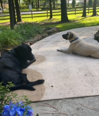 Gus spent a lot of time recovering from his surgery and Chief kept him company watching from the porch.