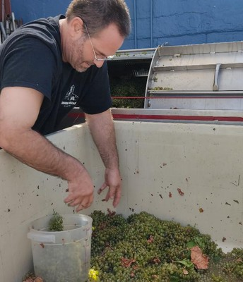 Trent checking out the harvested grapes.
