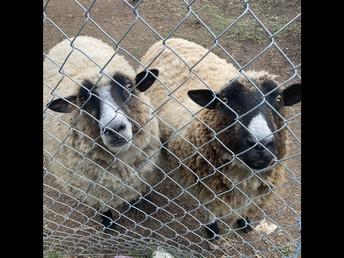 Sheep Shearing - JULY 6th