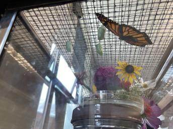 Monarch Butter-flies