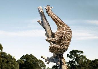 The Runaway Giraffe                                            By Emmy 3/4W