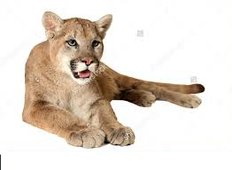 Mountain Lion Sighting reported