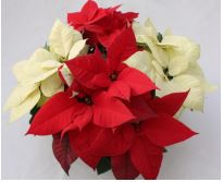 Pointsettia Fundraiser Information and Order Forms