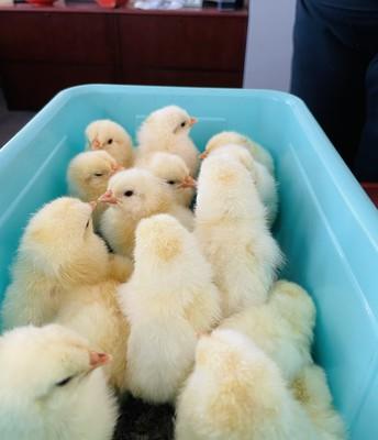 Chicks in Science