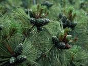 Siberian dwarf pine