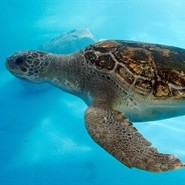 Virtual Zoology Lab: Sea Turtles