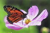 Monarch Butterfly Night!