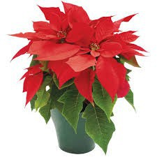 Poinsettia Sales!