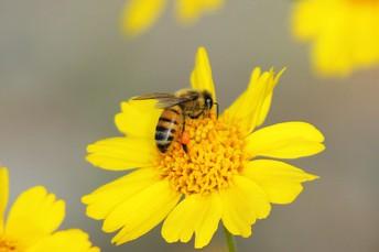 Western Honey Bee with pollen basket