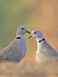Doves looking for a summer home