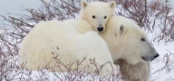 Discovery Education - Polar Bears
