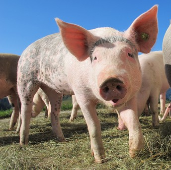 Pig (Cerdo, Puerco)