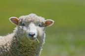 Sheep Clinic - Saturday May 20th
