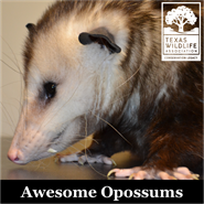 Animal Encounters: Awesome Opossums
