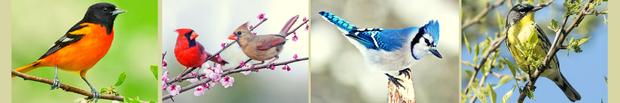 photos of oriole, cardinal, blue jay and yellow finch