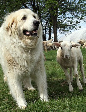Ever Heard of Sheep Measles?