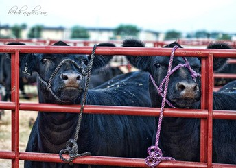 Cattle Tie-Outs