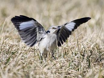 Northern Adut Mockingbird