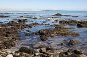 (Grades 3-6) Cabrillo Intertidal Explorations (Tidepools)