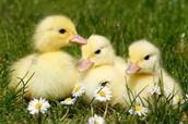 MEA Ducks!