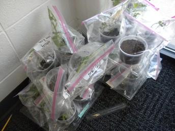 Growing plants in gr. 4 science