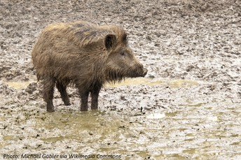A Pretty Muddy Pig, Bedtime Math