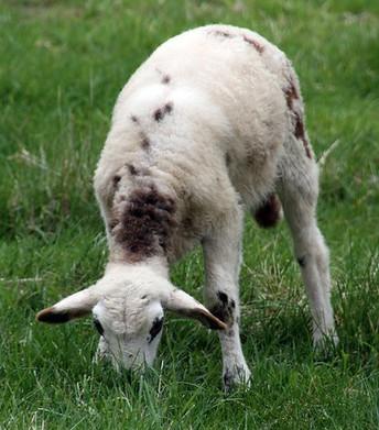 Supplementation of Grassfed Lambs