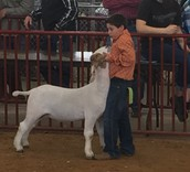 1st Place in Class Showing Goats at the TCJLS