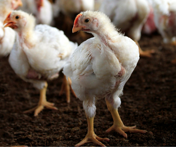 Poultry Showing Informational Meeting