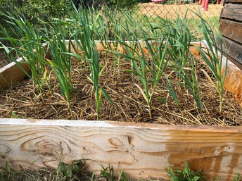 Photo of raised garden bed with garlic.