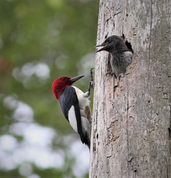 Red-Headed Wood Pecker with Young
