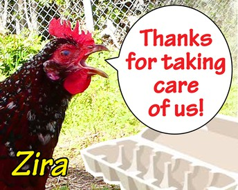 Thank you chicken caretakers