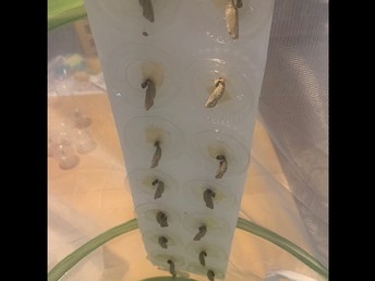 3G and 3/4P are watching their butterly larva turn into chrysalis'