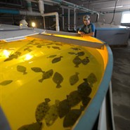 Saltwater Fish Hatcheries