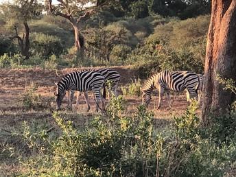 Wamogo students see zebras in Kruger National Park.