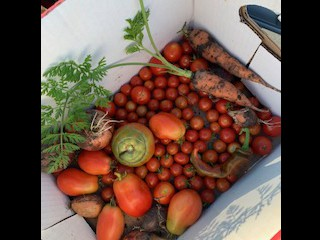 Variety of Tomatoes!