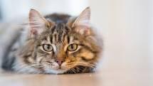 Online 4-H Cat Club