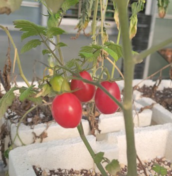 Tomatoes Coming Soon!