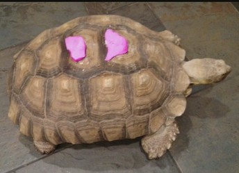 Turtle, Transformed
