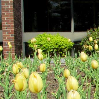 Yellow Tulip Garden Project Returns At ConVal High School