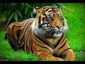 Calling All Jungle Tigers!