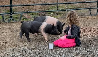 Cali's little sister feeding acorns to her pigs.
