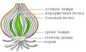 Тайны внутри луковицы
