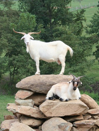 Selection for Low FEC in Cashmere Goats