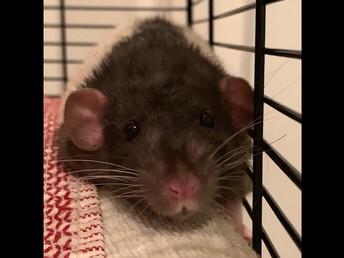 Rattie #1