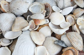 Seashell Sorting and Counting