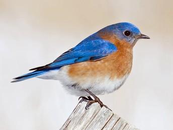 Eastern Male Bluebird
